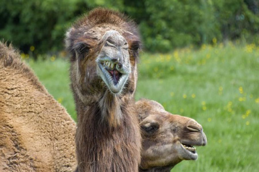Camel with a missing tooth.